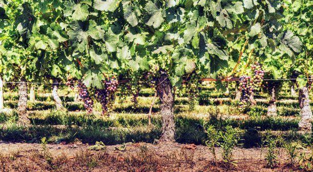 À la découverte du Médoc - Bordeaux - Au milieu des vignes… - 3