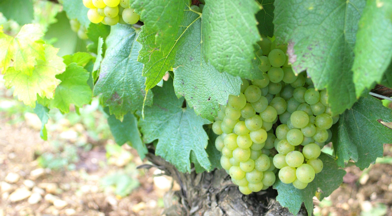 À la découverte de Chablis - Bourgogne - Chablis, terre de Grands Vins - 1