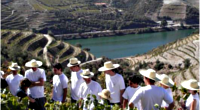 Dans les coulisses des vendanges du Porto - Vallée du Douro - Au boulot ! - 1